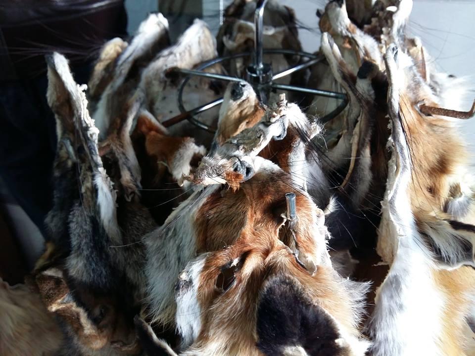 Les Eaux et Forêts ont procédé, mercredi matin, à la saisie de 18 peaux de renard roux, 2 peaux de chacal commun et 3 peaux de genette au marché central d'Agadir