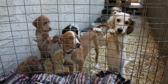 Des chiens errants attendant de trouver une famille. © Flickr/Klearchos Kapoutsis