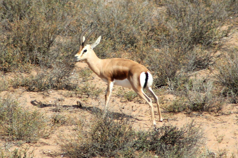 Gazelle de Dorcas
