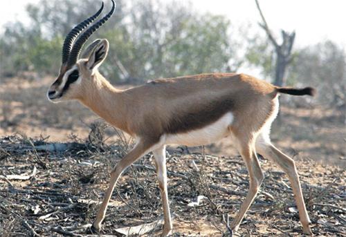 La présence relativement abondante de la gazelle de Cuvier dans la région Souss Massa suscite la convoitise de braconniers sans scrupules (Ph. F.N.)